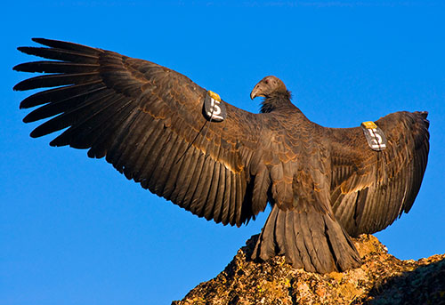 Pinnacles National Park Foundation Receives Funding in Support of Condor Recovery