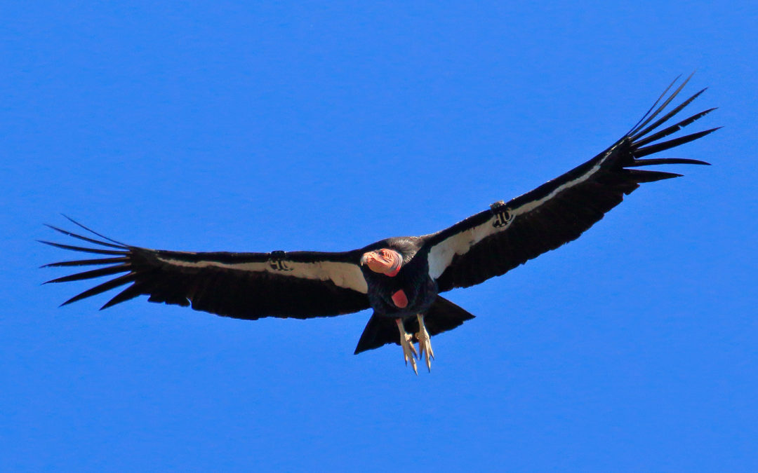 Pinnacles Receives GPS Tags in Support of Condor  Monitoring